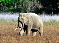 Wild Asian Elephant Motion