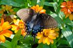 Eastern Tiger Swallowtail - Dark Form