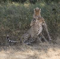 Cheetahs Playing Two