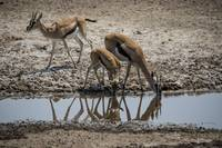 Gazelle Reflection