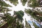 """Towering Pine Trees by James """"BO"""" Insogna"""