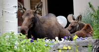 Moose and Baby in Spring
