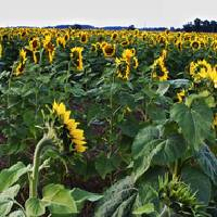 Sunflower Field Panorama by Jim Crotty