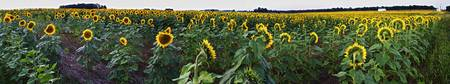 Sunflower Field Panorama