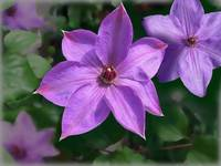 Purple Clematis by Giorgetta Bell McRee