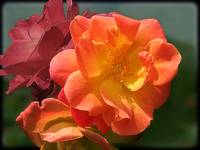 Brilliant Roses by Giorgetta Bell McRee