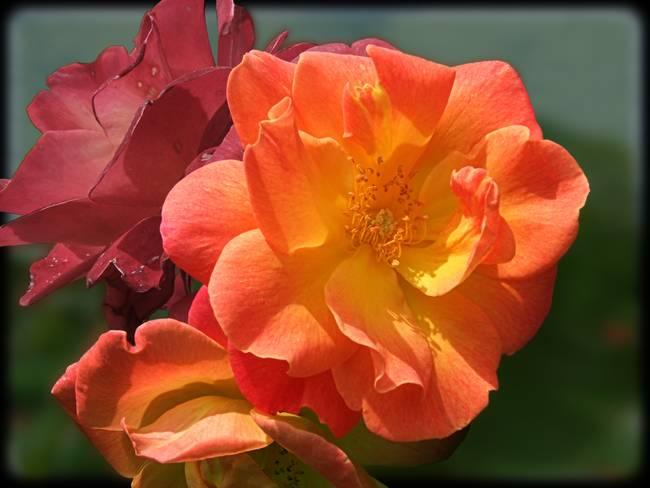 Brilliant Roses
