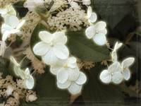 Limelight Hydrangea by Giorgetta Bell McRee