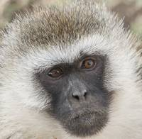 Vervet Monkey Closeup