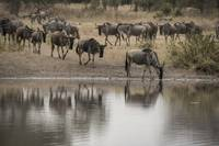 Wildebeest Reflection