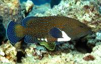 Blue Spotted Groupper