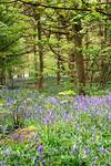 Bluebell's Forest