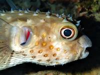 Pufferfish with Cleaner Wrasse on Gills