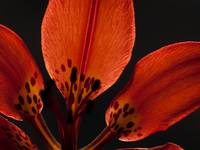 Wood Lily (3)