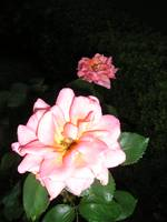 Peach-orange Rose