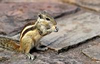Chipmunk of the Temples