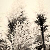 Pampas Grass Art Prints & Posters by Caryl Alys