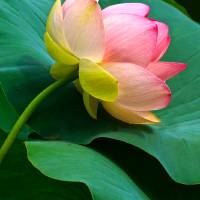 Cradled Lotus Blossom Art Prints & Posters by Byron Varvarigos