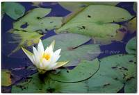 White Water Lily - Brightwaters Village