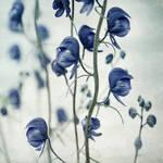 Wildflowers of the Yukon gallery