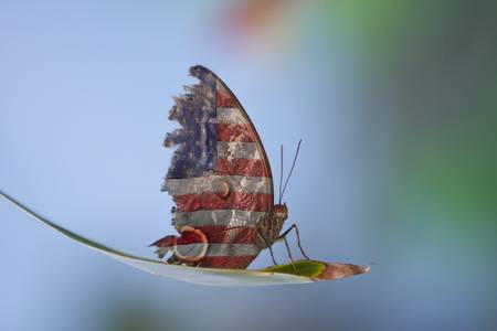 Torn American Butterfly by James