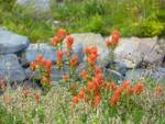 Hillside Flower Meadow - Indian Paint Brush