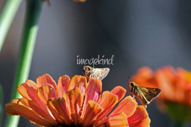 Two Skipper Butterflies