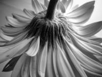 FLOWER, BACKSIDE, Black & White by Nawfal Johnson