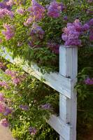 Lilacs on the Fence