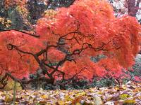 Fiery Orange Leaves On An Old Tree - Sleepy Hollow