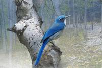 colorado forest scrub jay