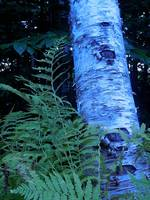 Birch Tree with Fern