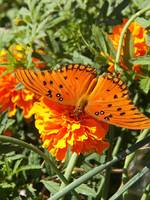 Orange Butterfly Checking Out the Marigold