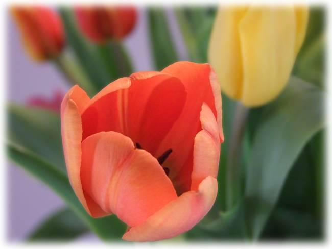 Coral Tulip