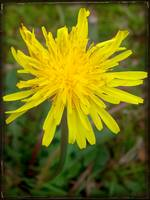 Yellow Dandelion by Giorgetta Bell McRee