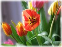 Dreamy Tulips by Giorgetta Bell McRee