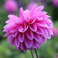Pink Dahlia Closeup by Carol Groenen