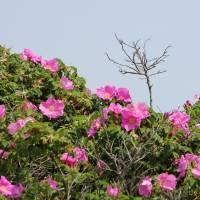 """Jones Beach Roses"" by Oquendo"