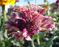 Mottled Pink Cone Flower