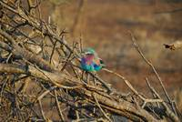 Colorful African Bird