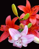 Red & Pink Lilies #2