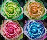 "Colorful Rose Spirals by James ""BO"" Insogna"