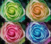 Colorful Rose Spirals