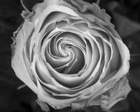 Rose Spiral Black and White