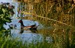 Common Moorhen Cruising