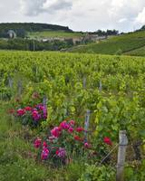 Vineyard with Roses