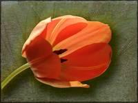 Tulip by Giorgetta Bell McRee