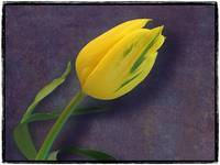 Yellow Tulip by Giorgetta Bell McRee