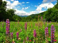 Lupines at Crawford Notch