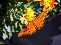 Orange butterfly Makes a Line for the Marigold!